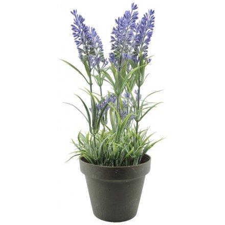 Lavender in Pot 26cm