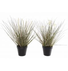 An assortment of 2 potted grasses with flowers or foxtail.