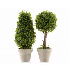 An assortment of 2 elegant boxwood plants set within cream planters. A stylish home accessory.