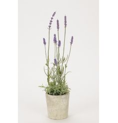 A rustic lavender plant in pot. Ideal for a country living look.