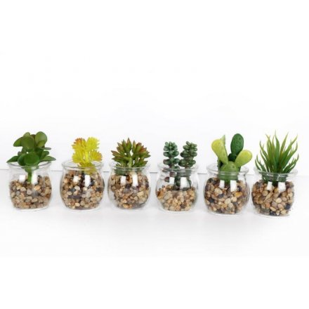 Succulent In Glass Pot, 6 Assorted