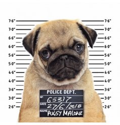 A quirky and fun pug themed greetings card.