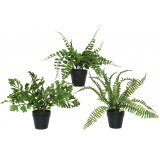 an assortment of 3 potted fern plants, suitable for any house