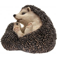 An adorable pair of Hedgehogs curled up together