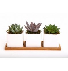 Sure to place perfectly on any shelf, sideboard or windowsill, a set of 3 ceramic potted succulents finished with a wood