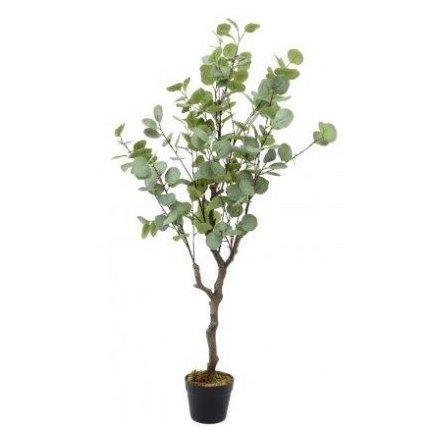 Potted Eucalyptus Tree, 130cm