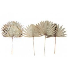 A mixed pack of Natural Dried Sun Spear Stems, perfect for adding a finishing touch to any home space
