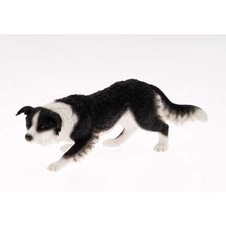 Border Collie Black and White
